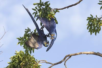 Hyacinth Macaw two playing upside down, Pantanal, Brazil