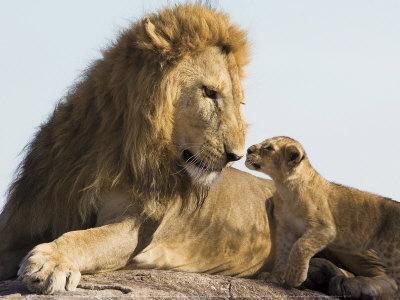 Lion Cub and Male Adult, Kenya