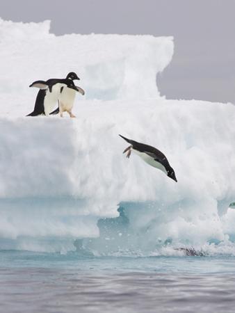 Adelie Penguin (Pygoscelis Adeliae) Diving Off Iceberg into Icy Water, Paulet Island, Antarctica by Suzi Eszterhas/Minden Pictures