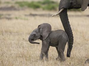 African Elephant (Loxodonta Africana) Mother and Less Than 3 Weeks Old Calf, Masai Mara, Kenya by Suzi Eszterhas/Minden Pictures