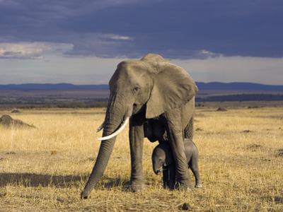 African Elephant (Loxodonta Africana) Mother Protecting Calf, Masai Mara, Kenya by Suzi Eszterhas/Minden Pictures