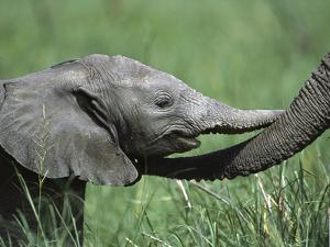 African Elephant (LoxodontaAfricana) Two Day Old and Mother, Ngorongoro Conservation Area, Tanzania by Suzi Eszterhas/Minden Pictures