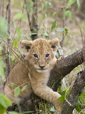 African Lion (Panthera Leo) 6 to 7 Week Old Cub Playing on Tree, Masai Mara Nat'l Reserve, Kenya by Suzi Eszterhas/Minden Pictures