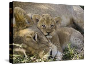 African Lion (Panthera Leo) Mother Resting with Cub, Vulnerable, Masai Mara Nat'l Reserve, Kenya by Suzi Eszterhas/Minden Pictures