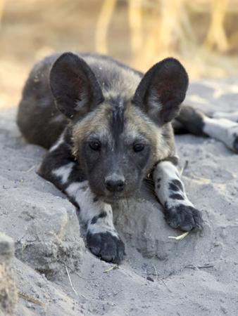 African Wild Dog (Lycaon Pictus) Six to Eight Week Old Pup, Okavango Delta, Botswana by Suzi Eszterhas/Minden Pictures