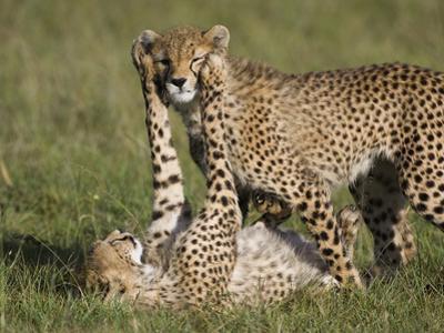 Cheetah (Acinonyx Jubatus) 7 to 9 Month Old Cubs Playing, Masai Mara Nat'l Reserve, Kenya by Suzi Eszterhas/Minden Pictures