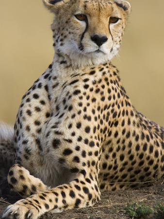 Cheetah (Acinonyx Jubatus) Adult Female Portait, Maasai Mara Reserve, Kenya by Suzi Eszterhas/Minden Pictures