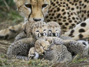 Cheetah (Acinonyx Jubatus) Cubs Curled Up Together in Nest, Maasai Mara Reserve, Kenya by Suzi Eszterhas/Minden Pictures