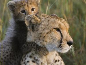 Cheetah (Acinonyx Jubatus) Eight Week Old Cub Playing with Mother, Maasai Mara Reserve, Kenya by Suzi Eszterhas/Minden Pictures