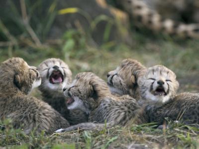 Cheetah (Acinonyx Jubatus) Five Day Old Cubs Calling for Mother, Maasai Mara Reserve, Kenya by Suzi Eszterhas/Minden Pictures