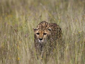 Cheetah (Acinonyx Jubatus) in Long Grass, Cheetah Conservation Fund, Otijwarongo, Namibia by Suzi Eszterhas/Minden Pictures