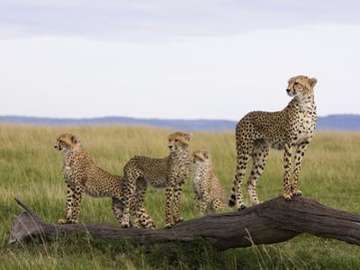 Cheetah (Acinonyx Jubatus) Mother and 6 Month Old Cubs, Masai Mara Nat'l Reserve, Kenya by Suzi Eszterhas/Minden Pictures