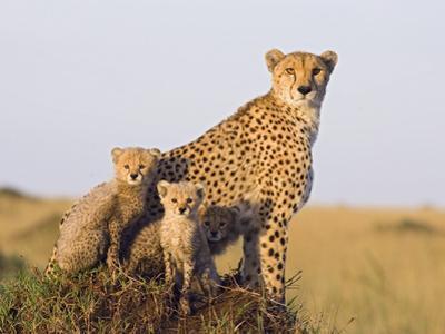 Cheetah (Acinonyx Jubatus) Mother and Eight Week Old Cubs, Maasai Mara Reserve, Kenya by Suzi Eszterhas/Minden Pictures