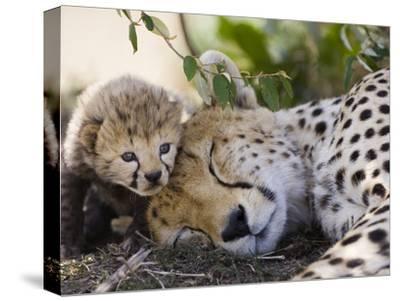Cheetah (Acinonyx Jubatus) Mother and Seven Day Old Cub, Maasai Mara Reserve, Kenya by Suzi Eszterhas/Minden Pictures