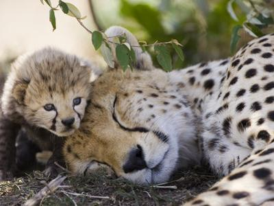 Cheetah (Acinonyx Jubatus) Mother and Seven Day Old Cub, Maasai Mara Reserve, Kenya by Suzi Eszterhas/Minden Pictures