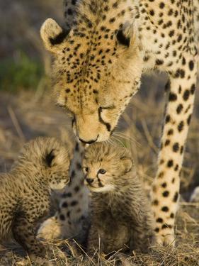 Cheetah (Acinonyx Jubatus) Mother Nuzzles Seven Day Old Cubs, Maasai Mara Reserve, Kenya by Suzi Eszterhas/Minden Pictures