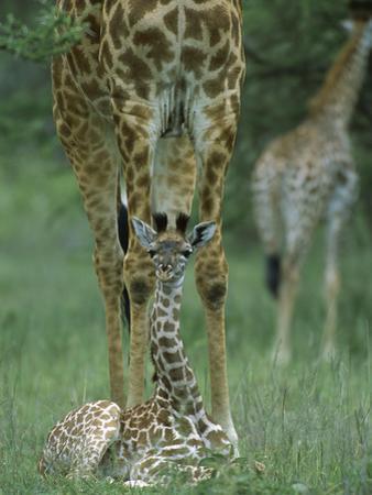 Giraffe (GiraffaCamelopardalis) Calf and Mother, NgorongoroConservation Area, Tanzania, East Africa by Suzi Eszterhas/Minden Pictures