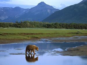 Grizzly Bear (Ursus Arctos Horribilis) Crossing River, Katmai Nat'l Park, Alaska by Suzi Eszterhas/Minden Pictures
