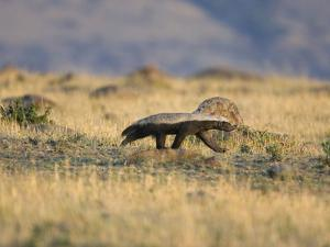 Honey Badger (Mellivora Capensis) Walking Through Grassland, Masai Mara, Kenya by Suzi Eszterhas/Minden Pictures