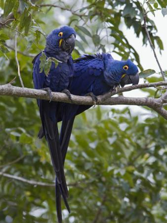 Hyacinth Macaw (Anodorhynchus Hyacinthinus) Pair, Pantanal, Brazil by Suzi Eszterhas/Minden Pictures