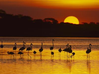 Lesser (Phoenicopterus Minor), Greater Flamingo (Phoenicopterus Ruber), Ngorongoro ConservationArea by Suzi Eszterhas/Minden Pictures
