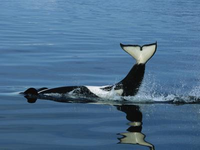 Orca (Orcinus Orca) Tail Slapping, Prince William Sound, Alaska by Suzi Eszterhas/Minden Pictures