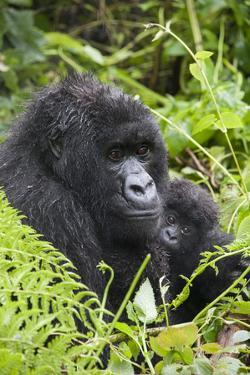 Mountain Gorilla (Gorilla Gorilla Beringei) Mother Holding Baby Twins Age Five Months by Suzi Eszterhas