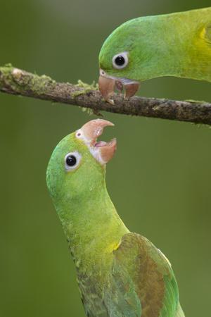 Orange-Chinned Parakeets (Brotogeris Jugularis) Interacting, Northern Costa Rica, Central America