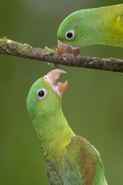 Orange-Chinned Parakeets (Brotogeris Jugularis) Interacting, Northern Costa Rica, Central America by Suzi Eszterhas