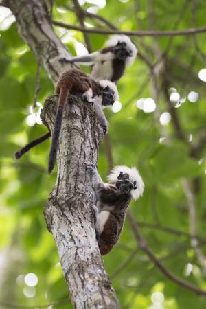 Three Cotton-top tamarins climbing tree, Northern Colombia