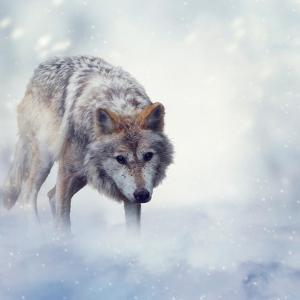 Gray Wolf Walking on the Snow by Svetlana Foote