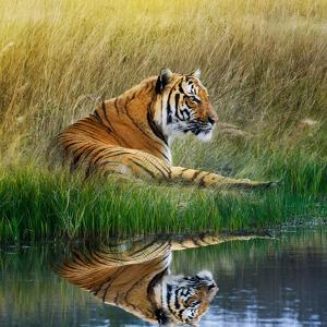 Tiger Relaxing on Grassy Bank with Reflection in Water by Svetlana Foote