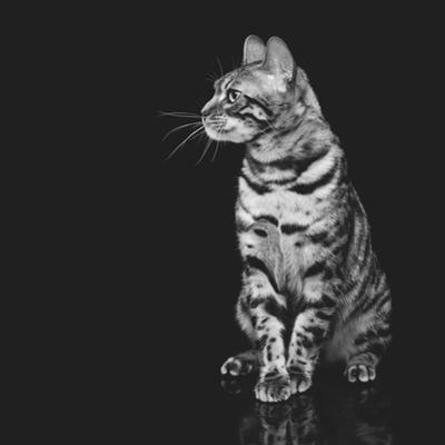 Beautiful Bengal Cat by Svetlana Mandrikova