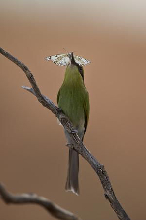 https://imgc.allpostersimages.com/img/posters/swallow-tailed-bee-eater-merops-hirundineus_u-L-PWFIUN0.jpg?p=0
