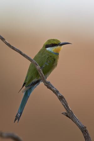 https://imgc.allpostersimages.com/img/posters/swallow-tailed-bee-eater-merops-hirundineus_u-L-PWFJIF0.jpg?p=0