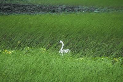 https://imgc.allpostersimages.com/img/posters/swan-in-a-swamp-near-anchorage-in-alaska_u-L-Q10VFG30.jpg?p=0