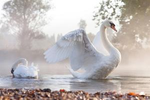 Swan Stretching on Misty Lake