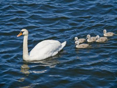 Swan with its Cygnets Swimming in a Lake, Stockholm, Sweden