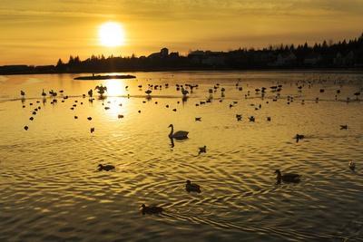 https://imgc.allpostersimages.com/img/posters/swans-and-ducks-at-sunset-reykjavik-iceland_u-L-PZS4YJ0.jpg?p=0