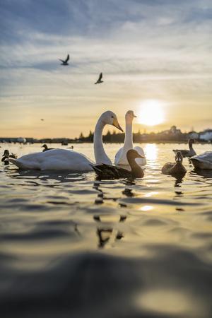 https://imgc.allpostersimages.com/img/posters/swans-and-ducks-in-pond-reykjavik-iceland_u-L-PZSABD0.jpg?artPerspective=n