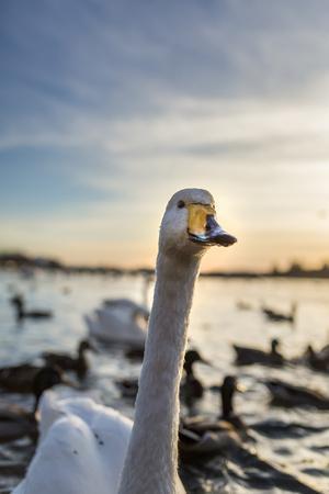 https://imgc.allpostersimages.com/img/posters/swans-and-ducks-in-pond-reykjavik-iceland_u-L-PZSAI50.jpg?p=0