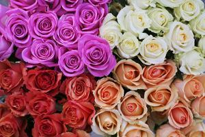 Coloured Rose Blossoms, Roses by Sweet Ink