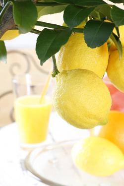 Lemon on a Branch, Citrus Limon by Sweet Ink