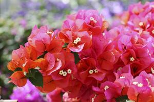 Triplet's Flowers, Blossoms, Bougainvillaea by Sweet Ink