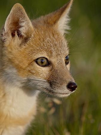 https://imgc.allpostersimages.com/img/posters/swift-fox-vulpes-velox-kit-pawnee-national-grassland-colorado-usa_u-L-PFN9GY0.jpg?p=0