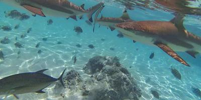 https://imgc.allpostersimages.com/img/posters/swimming-with-sharks-and-stingrays-tiahura-moorea-french-polynesia_u-L-Q1CZNAK0.jpg?artPerspective=n