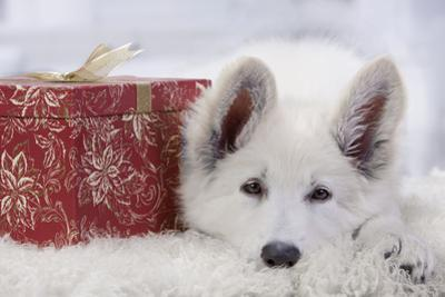 Swiss White Shepherd Dog with Gift-Wrapped Present