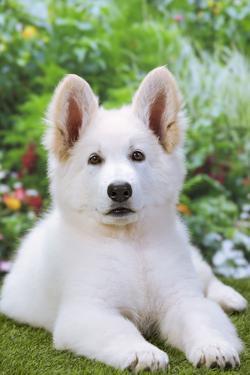 Swiss White Shepherd Dog