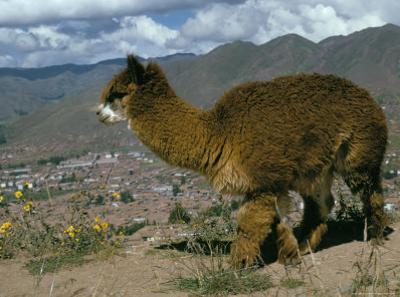 Alpaca, Cuzco, Peru, South America