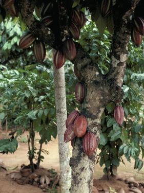 Cocoa Pods on Tree, Sri Lanka by Sybil Sassoon